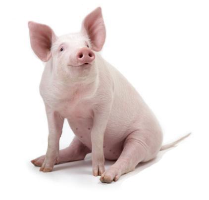 sonhar-com-porcos-1