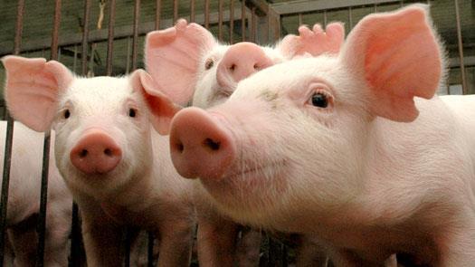 sonhar-com-porcos
