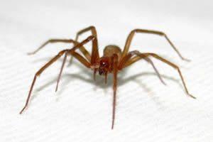 sonhar com aranha marrom