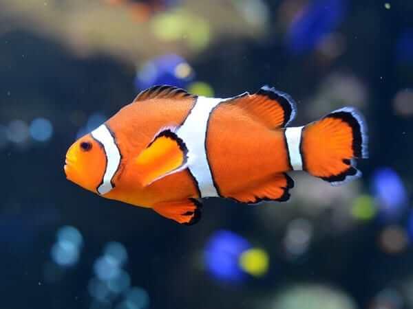sonhar com peixe palhaço