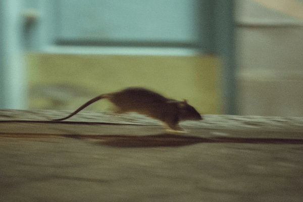 sonhar com rato correndo