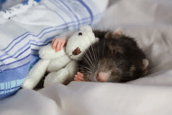 Sonhar com rato significado
