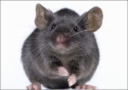 sonhar com rato