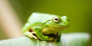 sonhar com sapo verde