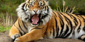 significado de sonhar com tigre
