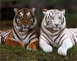 o que quer dizer sonhar com tigre