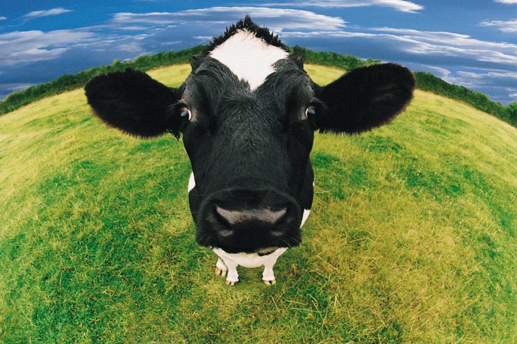 vaca-sonho
