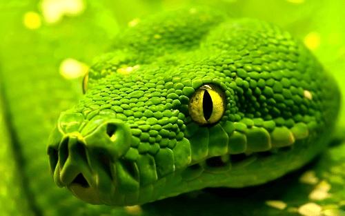cobra verde de olhos amarelos