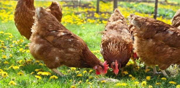 sonhar com galinha o que significa sonhar com significado dos