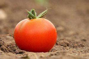simpatia do tomate