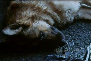 sonhar com cachorro morto