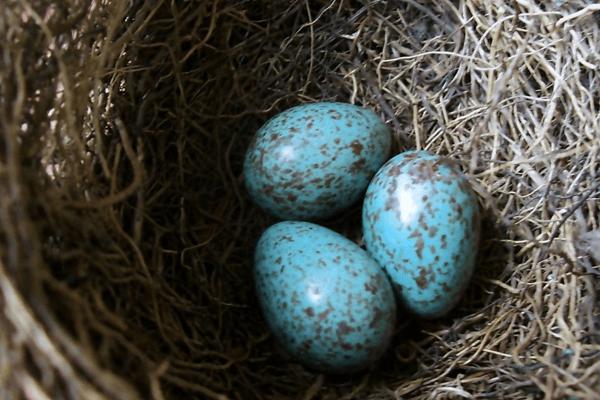 Sonhar com ovos de pássaro