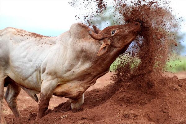 Sonhar com touro  quais são os significados  - Sonhar com ... 27506db4da6