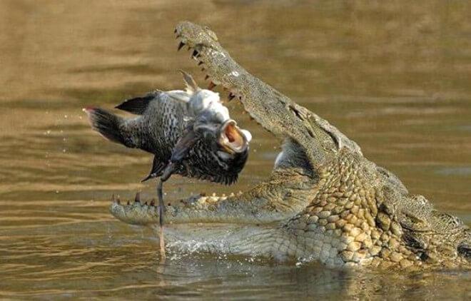 Sonhar com Crocodilo: o que significa?