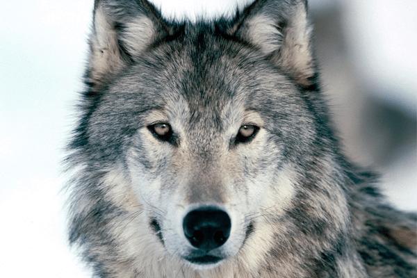 Sonhar com lobo: quais são os principais significados?