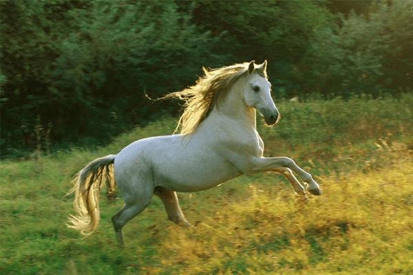 Sonhar com cavalo branco: significados