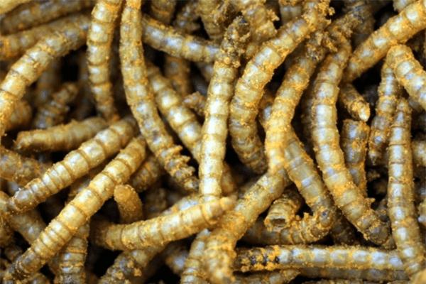 Sonhar com vermes: quais são os significados?