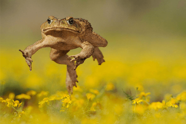 Sonhar com sapo pulando