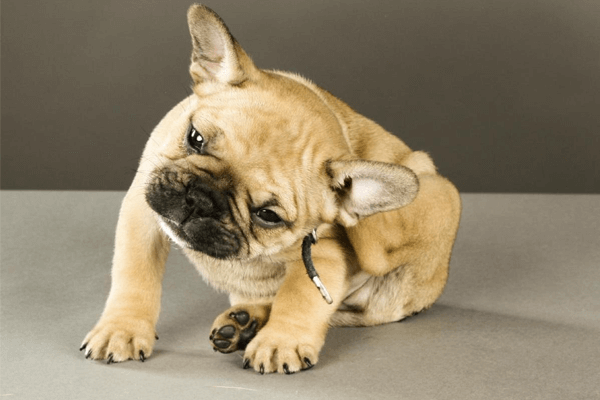 Sonhar com cão com sarna ou pulgas