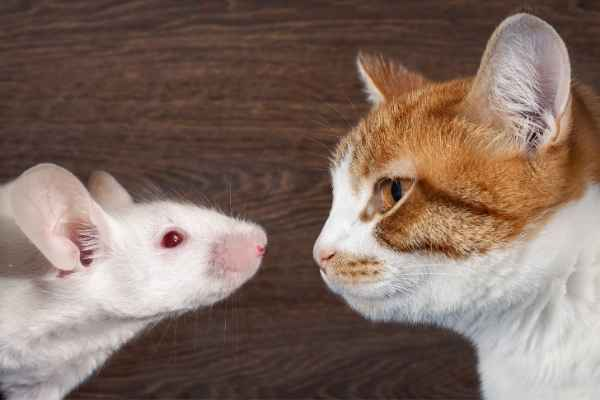 Sonhar com gato e rato