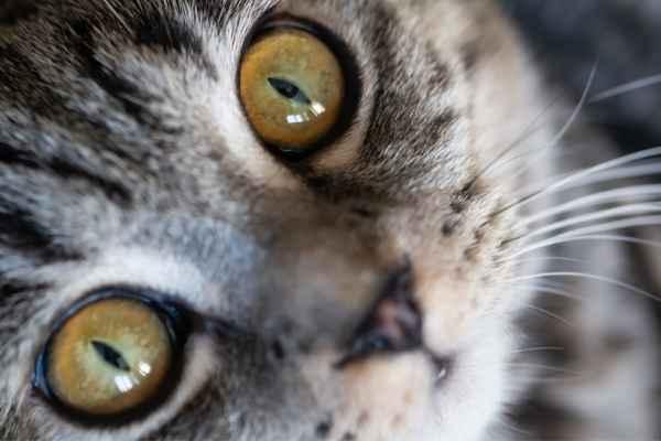 Sonhar com olhar de gato