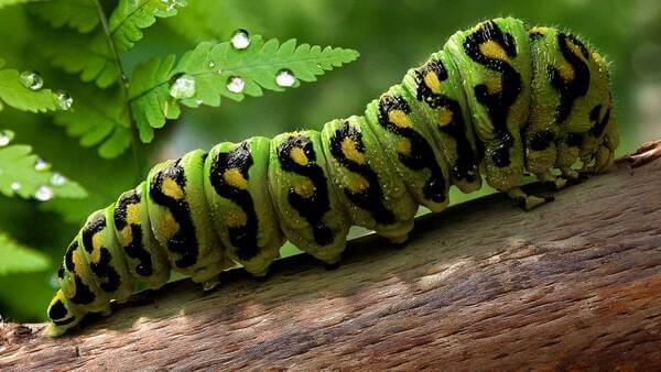 Sonhar com lagarta