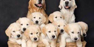 Sonhar com muitos cachorros