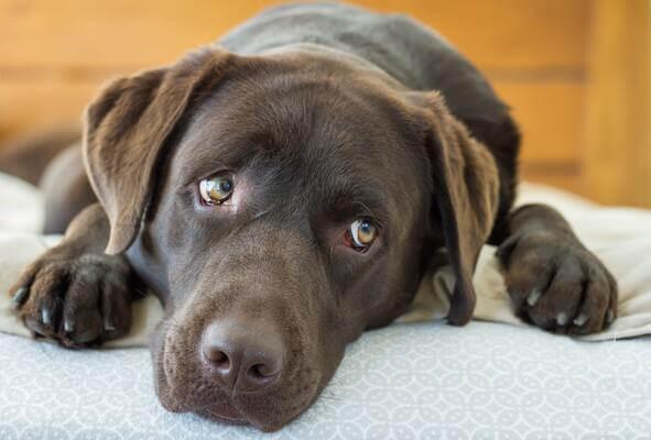 Sonhar com cachorro marrom