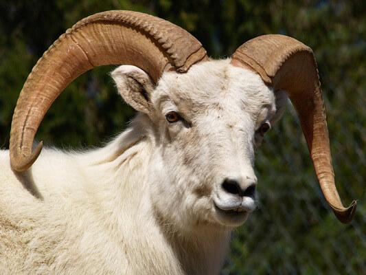 Sonhar com carneiro