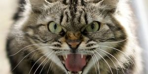 Sonhar com gato atacando