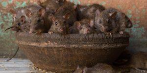 Sonhar com muitos ratos
