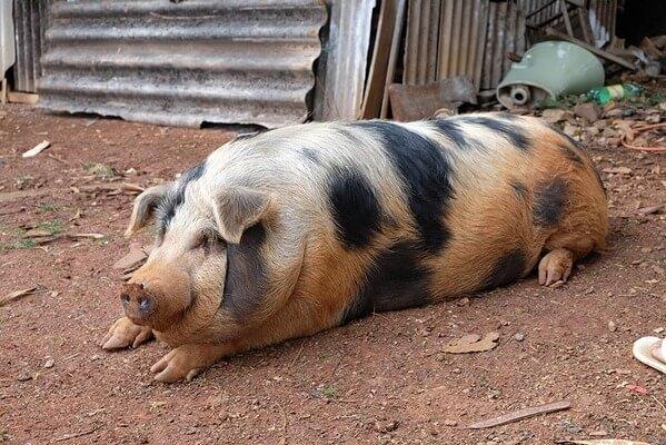 Sonhar com porco morto