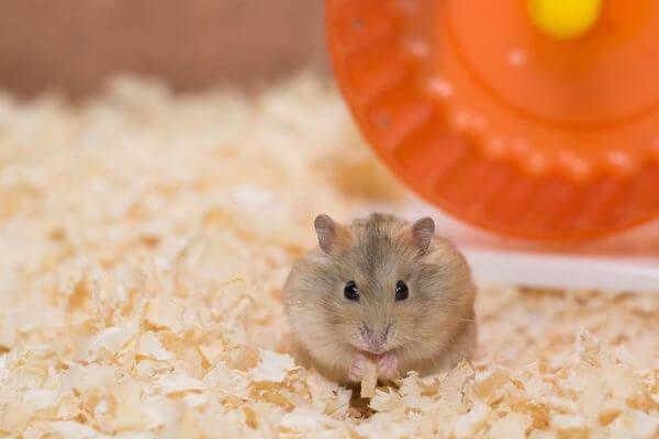 Sonhar com hamster