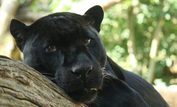 Sonhar com pantera negra