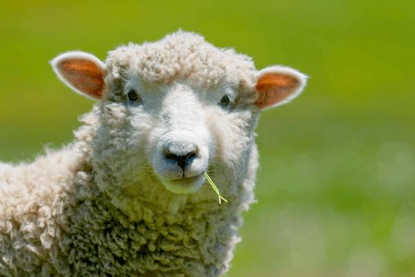 Sonhar com ovelha