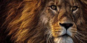 leão fiel