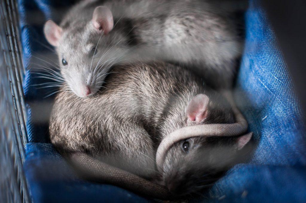 Sonhar com rato cinza